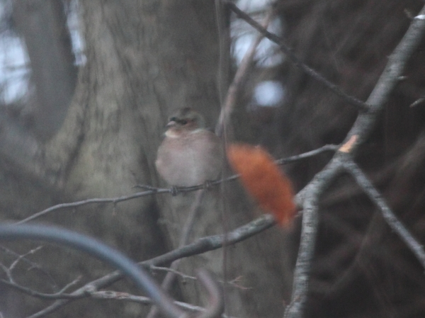 Common Chaffinch, Waltham Massachusetts