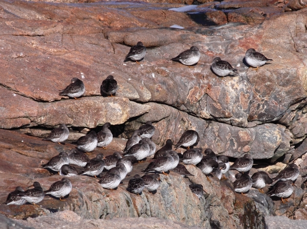 Purple Sandpiper flock