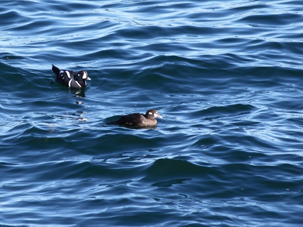 Harlequin Ducks, male and female
