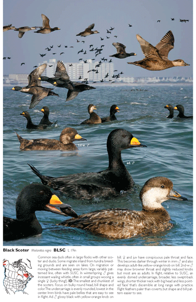 Crossley ID Guide: Black Scoter
