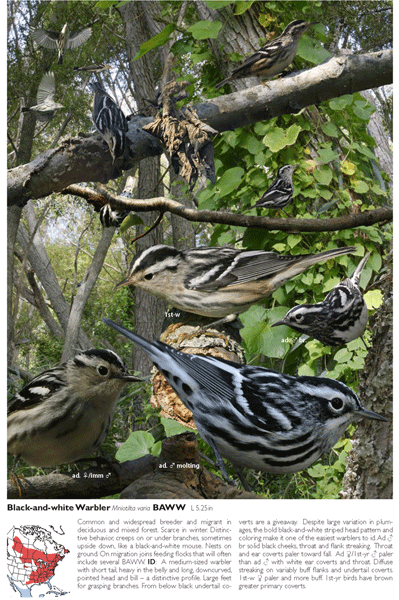 Crossley ID Guide: Black-and-white Warbler